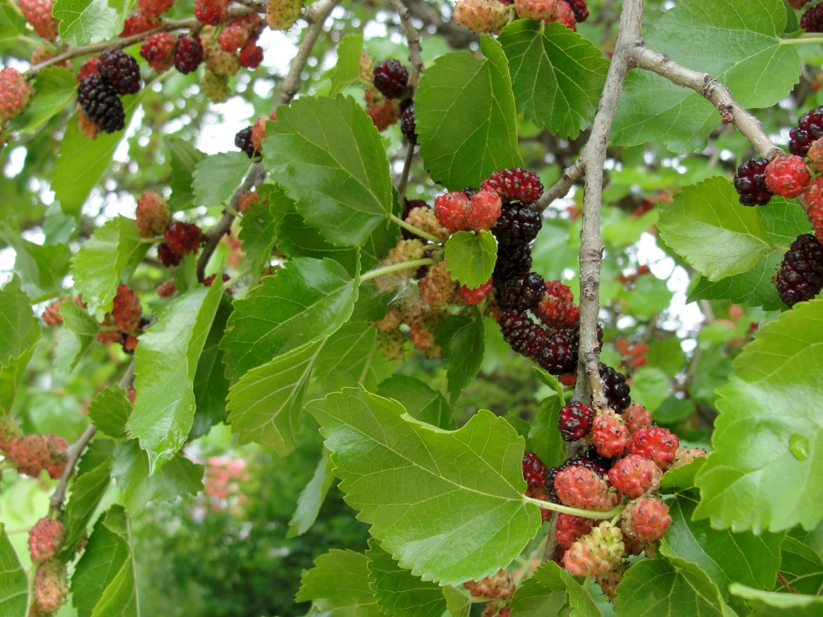 137_AZ_Mulberry_1_Fruit_LRS